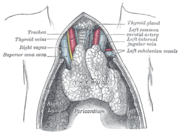 The thymus. Displayed thymus is relatively large, since it is a juvenile thymus.
