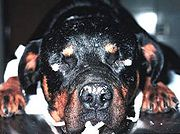 Vitiligo is sometimes considered a cosmetic defect in the Rottweiler